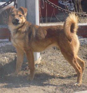 Собачка похожая на Каштанку