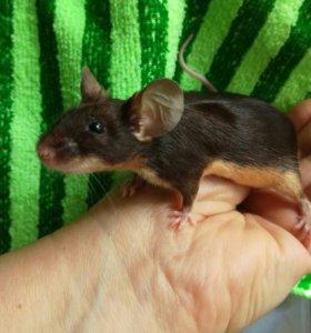 Мышки сатиновые декоративные ,породистые красавицы