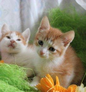 Шикарные котята в дар