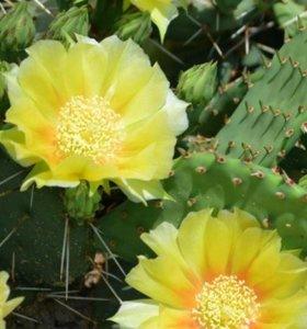 Цветы Кактус морозостойкий Опунция