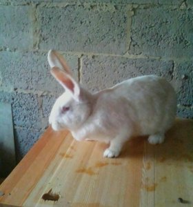Кролик ,цена за месяц