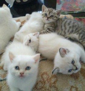 Котята британцы