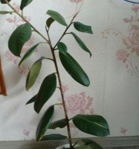 Фикус с большими листьями