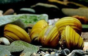 Шаровка яванская(живой фильтр для аквариума)