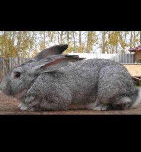 Крольчиха серый великан 1год.