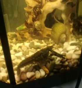 Раки для аквариума