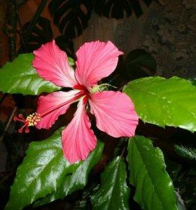 Гибискус ( китайская роза )