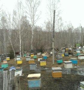 Продам пчёл пчелосемьи