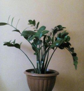 Цветок Замиокулькас, долларовое дерево