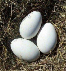 Яйца гусей инкубационые