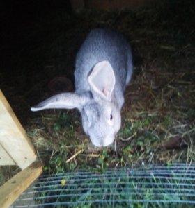 Кролики 1500р.