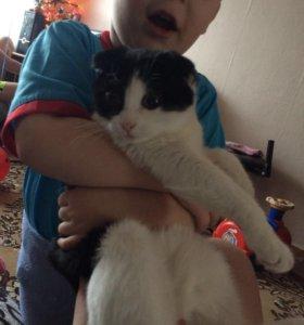 Вислоухий котик ищет кошку для вязки