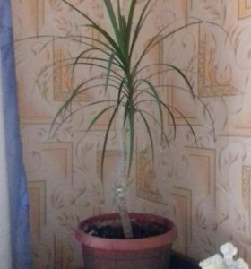 Цветы комнатные Драцена 60 см