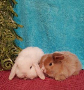 Белые и рыжие карликовые барашки
