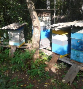 Семьи пчел