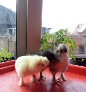 Цыплята Брамы