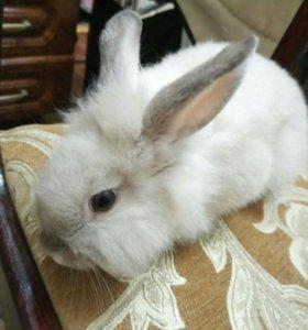 Кролик декаротивный