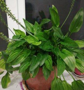 Дримиопсис комнатный цветок