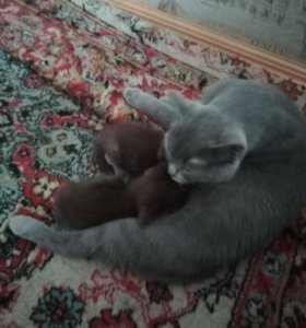 Котята британские шоколадного окраса