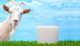 Козье молоко.