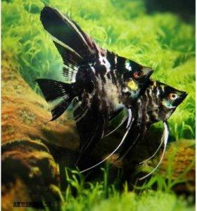 Скалярия мраморная (Marble angelfish)