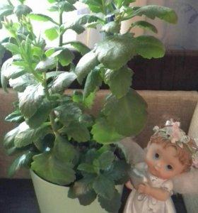 Цветок Каланхоэ КРАСНЫЙ (на цвету)