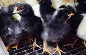 Цыплята Амрокс и Адлерская серебристая