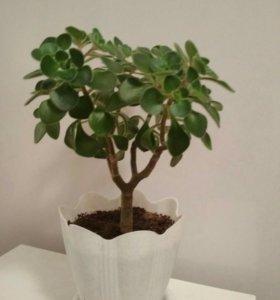Аихризон дерево любви