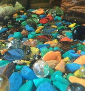 Раки декоративные, аквариумные....