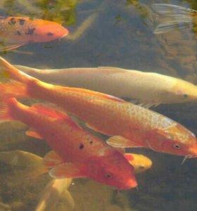 Прудовая, аквариумная рыба