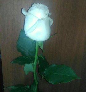 Розы рассада