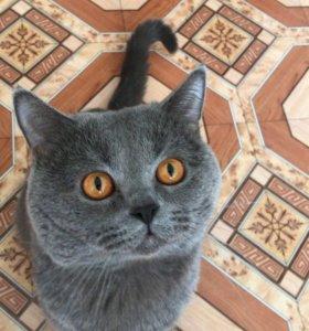 Британец кот вязка