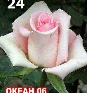 Саженцы роз и плодовых деревьев