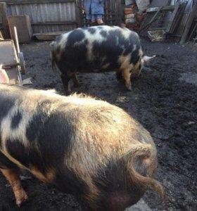 свиньи на мясо