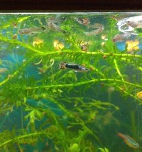 Рыбки Гупи