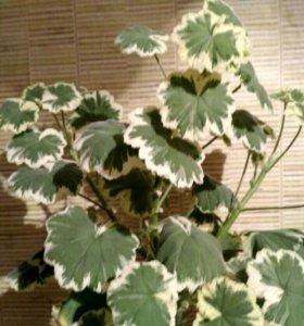 Фуксии, пеларгонии и другие комнатные цветы.