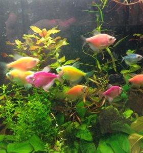 Рыбки Тернеции или карамельки