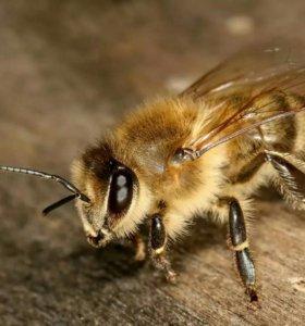 Продаются пчелы.