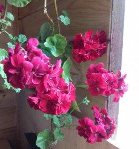 Комнатные цветы, пеларгонии плющелистные