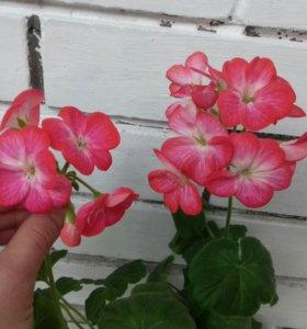 Комнатные цветы, пеларгонии саженцы