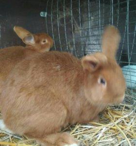 Кролики новозеландский красный