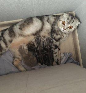 Бронь котят