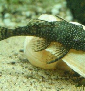 Рыбки анцитрусы сомики.