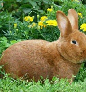 Кролик самец НЗК