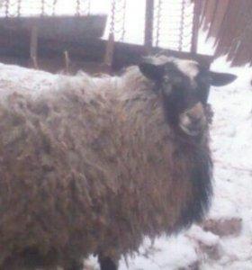Романовские овцы.