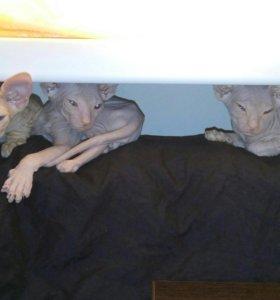 Котята. Донской сфинкс