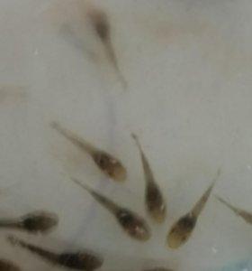 Сомики анцытрусы