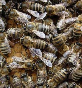 Продам пчелосемьи Карпатской породы.