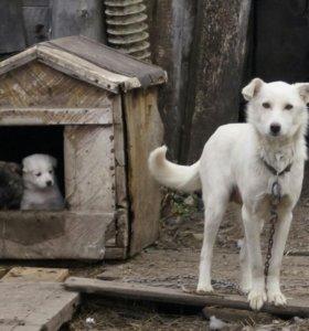 Отдам щенков красивой собаки в добрые руки