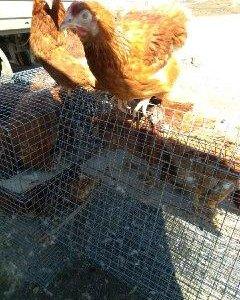 Курица-Несушка, 4,5мес.